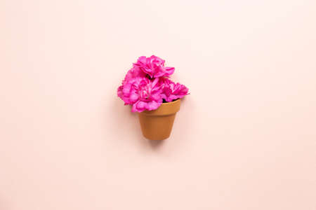 Pink carnation flowers in flowerpot on pink background. top view, copy space