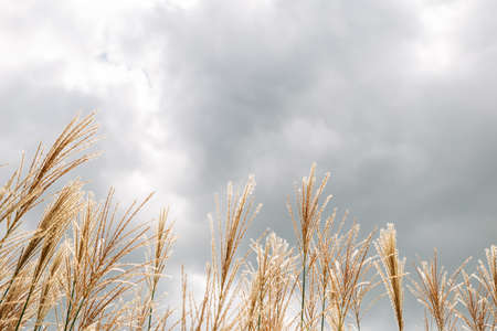 Dry reed field under cloudy sky