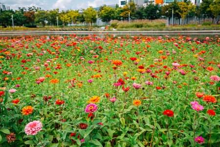Songdo Central Park. Colorful flower field in Incheon, Korea