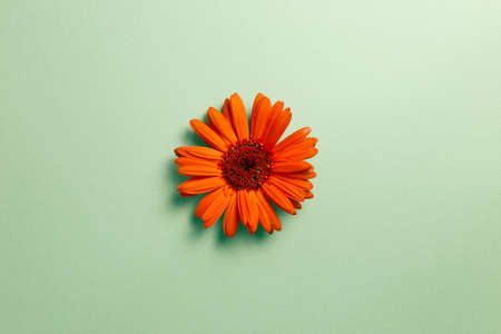 Orange gerbera daisy flower on green background. top view, copy space