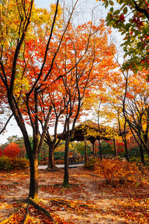 Namsangol park, Korean traditional pavilion with autumn maple forest in Seoul, Korea
