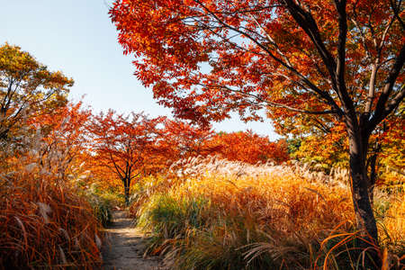Seoul forest park, Autumn reed field road with colorful trees in Korea