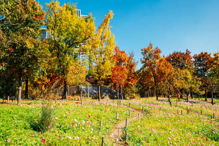 Seoul forest park, Autumn colorful trees and flower field in Korea 免版税图像
