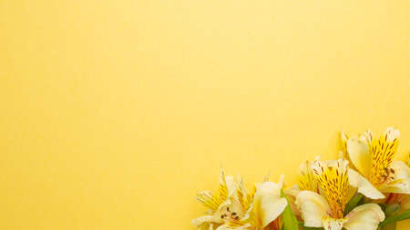 Yellow Alstroemeria flowers on yellow background. flat lay, top view, copy space