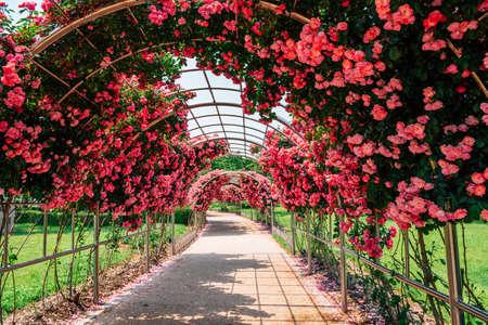Pink rose tunnel at Ilsan Lake Park in Goyang, Korea 免版税图像