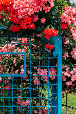 Rose garden at Ilsan Lake Park in Goyang, Korea 免版税图像