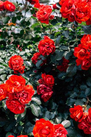 Red rose wall at Ilsan Lake Park in Goyang, Korea