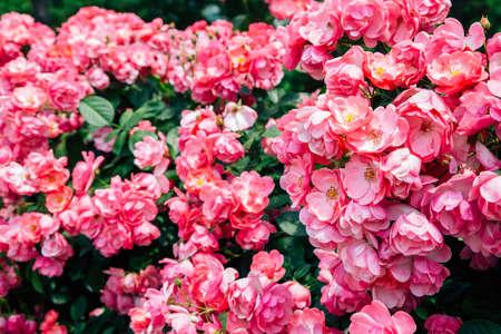 Pink rose wall at Ilsan Lake Park in Goyang, Korea 免版税图像
