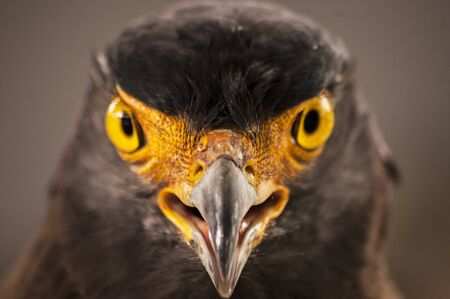 Frontal Portrait of Eagle sharp yellow eyes Stock Photo