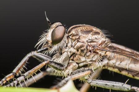 robberfly macro shot