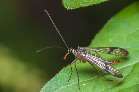A famale Scorpion Fly perched on a leaf