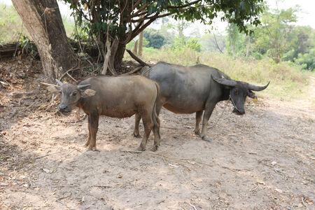 mara: Buffalo Mother