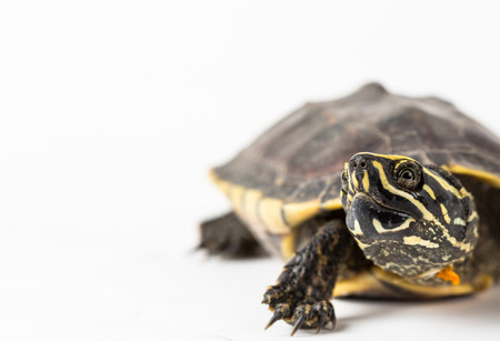 snapping turtle: turtle