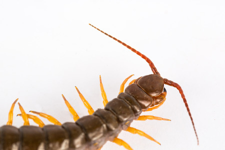 segmented bodies: centipede  isolated in white