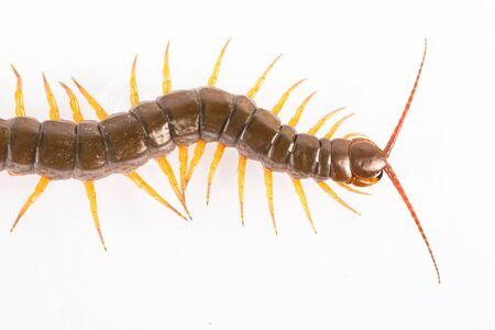 segmented bodies: centipede  isolated in white