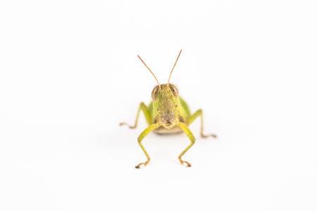 grasshopper  isolated in white photo