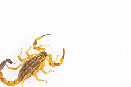 erectile: scorpion