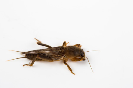 saboteur: Mole cricket isolated in white