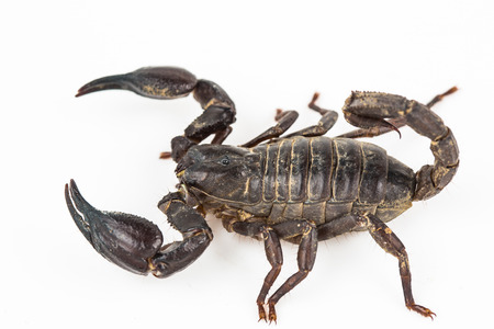 burrowing: scorpion isolated in white  Stock Photo