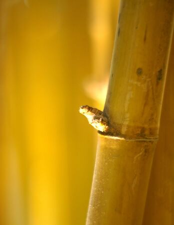 fineart: Yellow bamboo in the forest.