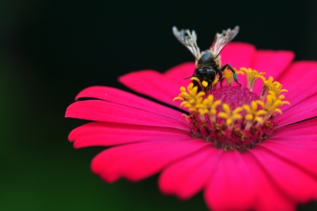 Bumble Bee Gathering Polen From Zinnia Elegans Flower Stock Photo - 21355626