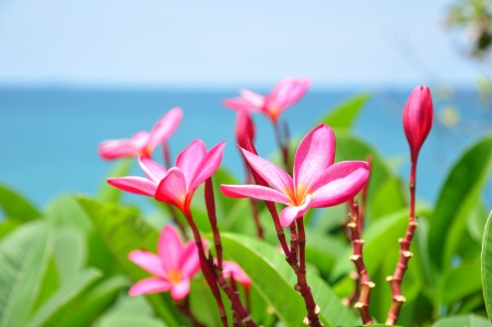 Beautiful pink plumeria flower with sea background photo