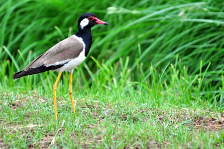 lapwing: Beautiful red-wattled lapwing (Vanellus indicus)
