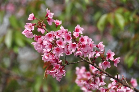 Beautiful pink flowers(Wild Himalayan Cherry) at Northern of Thailand photo