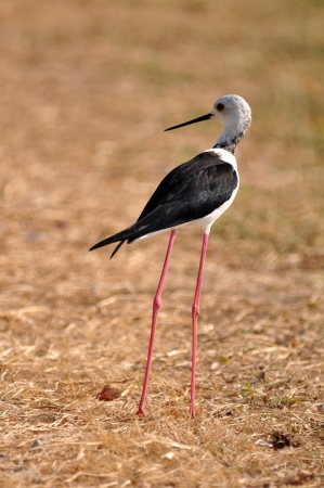 Black-winged Stilt bird (Himantopus himantopus ) walk alone to find the food photo