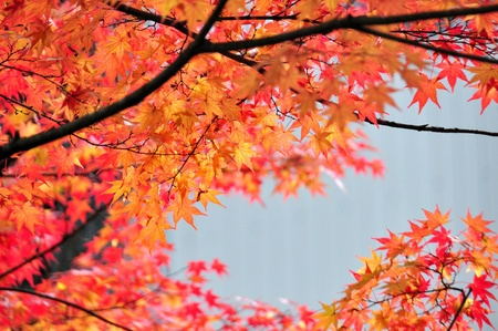 Japanese maples, acer palmatum, turn color in Tokyo Stock Photo - 21355731