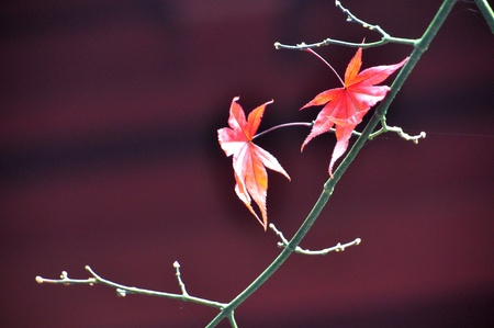 Falled leaf( acer palmatum)  in red background,Tokyo Stock Photo - 21355753