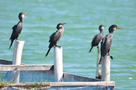 sequester: Great Cormorants on post at The Laem Phak Bia Environmental Study and Development Project,Thailand