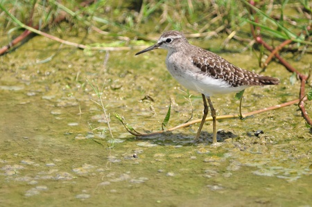 Red-necked Stint at  at The Laem Phak Bia Environmental Study and Development Project Banco de Imagens