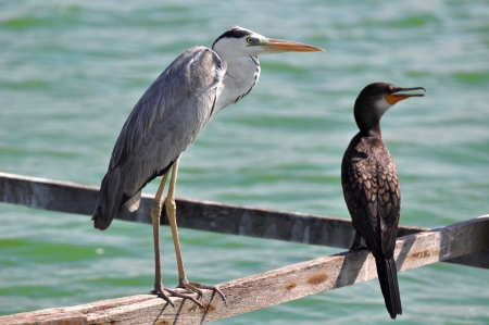 Great Grey Heron  and Great Cormorant ( focus on Great Grey Heron) photo