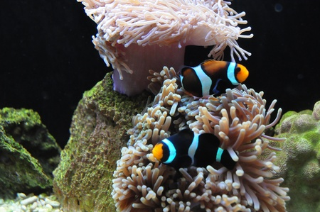 Reef fish Saddleback clownfish in marine aquarium photo