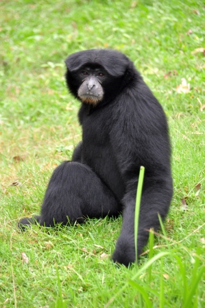 Black howler monkey sitting on the grass and looking forward photo