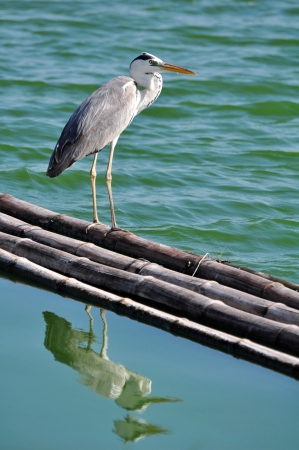 cinerea: Great Grey Heron (Ardea cinerea)  on floating bamboo,Thailand Stock Photo
