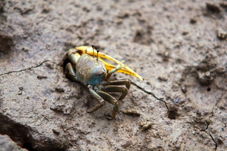 fiddler: Fiddler crab out of the cave in mangrove reforestation,Thailand Stock Photo