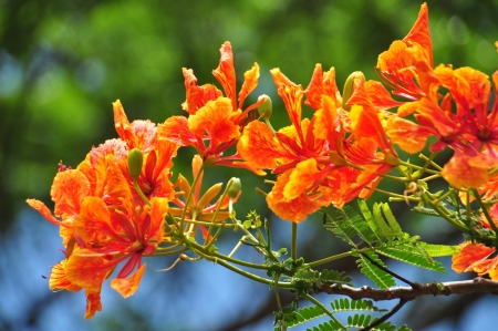 Royal Poinciana or Flamboyant (Delonix regia) or Flame tree photo