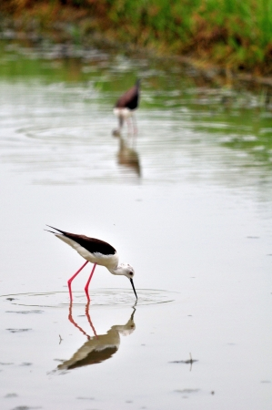 Black-winged Stilt bird (Himantopus himantopus ) in the pond photo