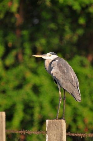 cinerea: Grey Heron (Ardea cinerea) on the fence