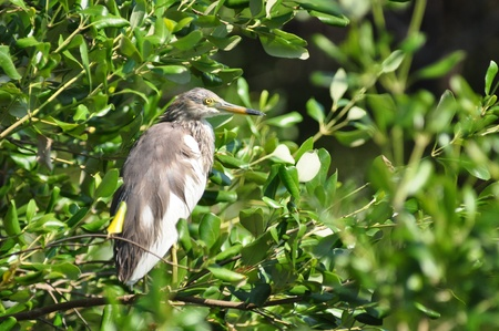Chinese Pond Heron standing  is on the mangrove tree, Thailand photo