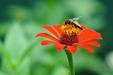 Bumble Bee Gathering Polen From Zinnia Elegans Flower photo