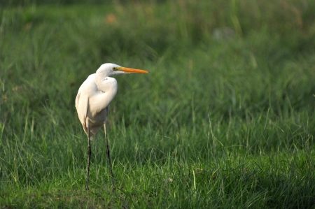 Great White Egret stands on the floor,Thailand photo