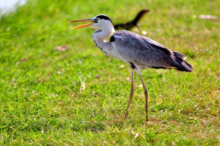ardea cinerea: Grey Heron (Ardea cinerea) on green grass Stock Photo