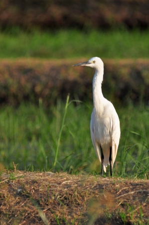 Little Egret (Egretta garzetta) in nature photo