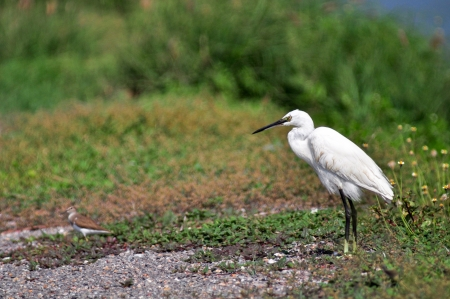 Little Egret (Egretta garzetta) photo