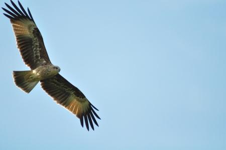 Changeable Hawk Eagle (Nisaetus limnaeetus) ,Thailand photo