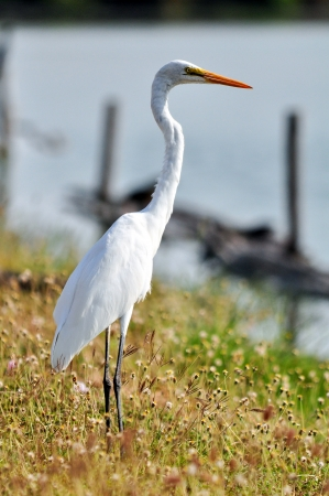 Great Egret (Egretta alba) looking forward photo