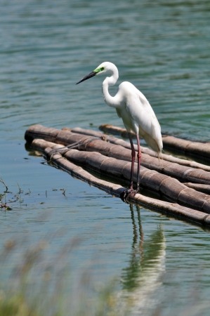 Great Egret (Egretta alba) on floating bamboo photo